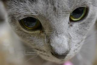 近くに黄色い目のグレー猫のアップ - No.989842