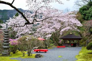 木にピンクの花のグループの写真・画像素材[1153832]