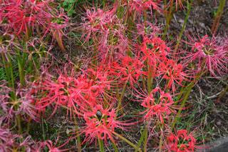 木にピンクの花のグループの写真・画像素材[1153983]