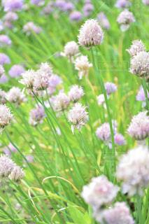 紫の花のグループの写真・画像素材[1154083]
