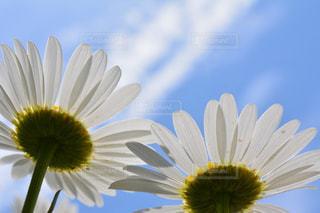 黄色の花の写真・画像素材[1154090]