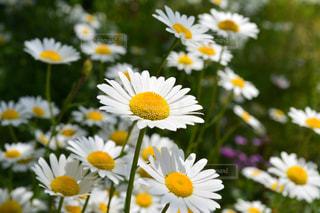 黄色の花の束の写真・画像素材[1154091]