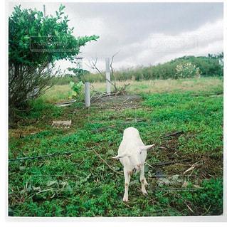 羊草の上に立っての群れにフィールドが覆われています。 - No.1160118