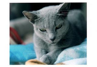 猫,お部屋,屋内,部屋,室内,ねこ,布団,フィルム,のんびり,哺乳類,ロシアンブルー,ネコ