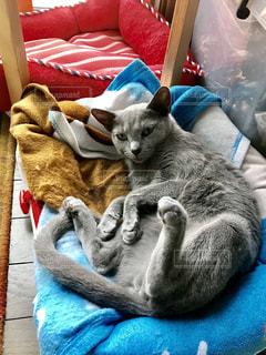 青い毛布の上に横たわる猫の写真・画像素材[1259267]