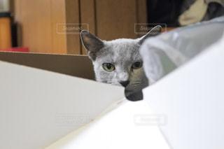 ボックスに座っている灰色と白猫の写真・画像素材[1280545]