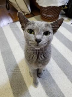 カメラを見ている猫の写真・画像素材[1287545]