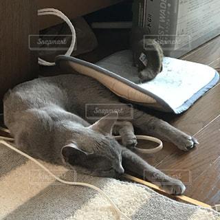 猫,屋内,景色,ねこ,床,哺乳類,夏バテ,熱中症,ネコ