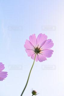 自然,空,花,花畑,ピンク,緑,コスモス,水色,山,景色,鮮やか,秋桜,明るい,ピンク色,コスモス畑,クリア,秋空,pink,草木,複数,大阪府,ガーデン,豊能