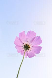 空,花,花畑,ピンク,緑,コスモス,水色,景色,鮮やか,秋桜,明るい,ピンク色,コスモス畑,クリア,秋空,pink,草木,複数,大阪府,ガーデン,豊能