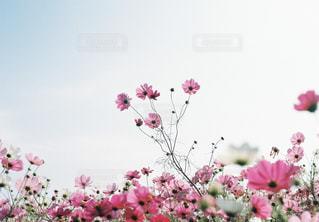 花,花畑,屋外,ピンク,緑,花束,コスモス,カラフル,景色,鮮やか,逆光,新緑,蕾,秋桜,秋晴れ,ピンク色,コスモス畑,近江八幡,クリア,絨毯,秋空,景観,pink,滋賀県,草木,日中,複数,ガーデン,秋晴,異なる