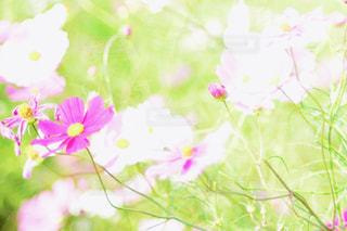 花,花畑,屋外,ピンク,緑,白,花束,コスモス,カラフル,紫,鮮やか,光,ぼかし,ふわふわ,逆光,新緑,蕾,玉ボケ,ピンク色,コスモス畑,近江八幡,クリア,pink,滋賀県,草木,日中