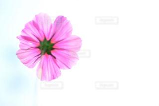 風景,花,緑,コスモス,青空,青,透明,紫,ふわふわ,逆光,新緑,玉ボケ,ピンク色,近江八幡,秋空,pink,滋賀県,草木,日中,秋晴