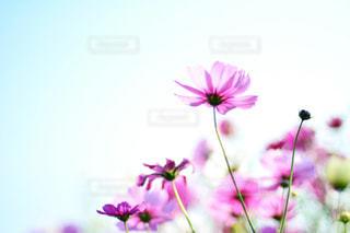 自然,風景,空,花,花畑,屋外,緑,花束,コスモス,カラフル,雲,青空,青,紫,鮮やか,光,ふわふわ,逆光,新緑,ピンク色,コスモス畑,近江八幡,秋空,pink,滋賀県,草木,日中,秋晴