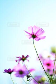 自然,風景,空,花,花畑,屋外,ピンク,緑,白,花束,コスモス,カラフル,雲,青空,青,紫,鮮やか,光,ぼかし,ふわふわ,逆光,新緑,玉ボケ,秋晴れ,ピンク色,コスモス畑,近江八幡,秋空,pink,滋賀県,草木,日中,秋晴