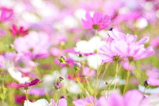 自然,風景,花,花畑,屋外,ピンク,緑,花束,コスモス,カラフル,紫,景色,鮮やか,光,ぼかし,ふわふわ,逆光,新緑,蕾,秋桜,玉ボケ,秋晴れ,ピンク色,コスモス畑,クリア,絨毯,pink,滋賀県,草木,日中