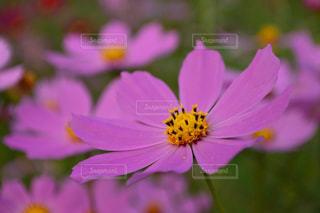 自然,花,花畑,ピンク,コスモス,カラフル,景色,鮮やか,明るい,コスモス畑,クリア,pink,草木,複数,大阪府,ガーデン