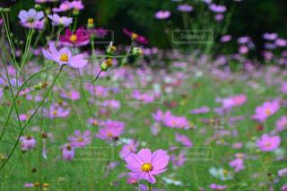 自然,花,花畑,屋外,ピンク,緑,コスモス,カラフル,景色,鮮やか,秋桜,明るい,コスモス畑,クリア,pink,草木,複数,大阪府,ガーデン,豊能