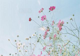 自然,風景,空,秋,ピンク,緑,コスモス,青空,青,紫,水色,景色,蕾,秋桜,秋晴れ,コスモス畑,近江八幡,秋空,蔦,pink,滋賀県,フィルム写真,秋晴