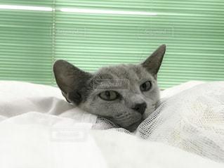ベッドの上で横になっている猫の写真・画像素材[1644933]