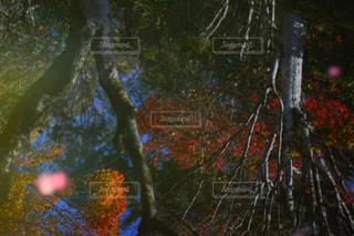 フォレスト内のツリーの写真・画像素材[1646718]
