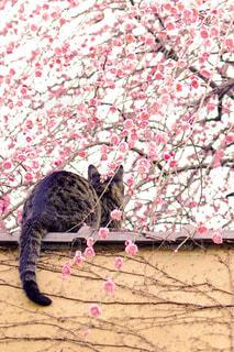 ピンクの毛布の上に横たわる猫の写真・画像素材[1873052]