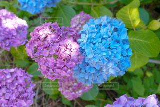 自然,風景,公園,花,ピンク,緑,水色,光,ハート,紫陽花,梅雨,マーク