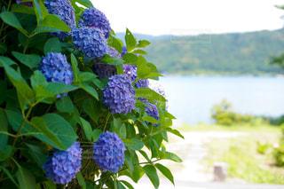自然,風景,花,屋外,湖,緑,青,散歩,紫,紫陽花,梅雨,レジャー,お散歩,ライフスタイル,おでかけ,草木,緑湖