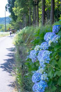 自然,風景,花,屋外,緑,青,散歩,紫,景色,樹木,紫陽花,梅雨,レジャー,お散歩,ライフスタイル,おでかけ,草木,ガーデン