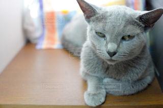 木製のテーブルの上に座っている灰色と白の猫の写真・画像素材[2337674]