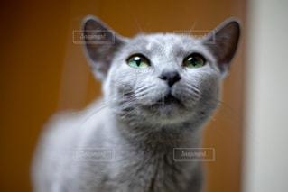 カメラを見ている猫のクローズアップの写真・画像素材[2337680]