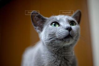 カメラを見ている青い目をした灰色の猫のクローズアップの写真・画像素材[2337683]