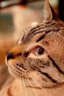 カメラを見ている猫のクローズアップの写真・画像素材[2337700]