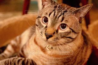 横になってカメラを見ている猫の写真・画像素材[2337702]