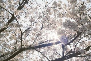 空,花,春,森林,屋外,太陽,光,樹木,草木,さくら,ブロッサム