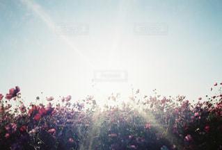 自然,空,花,秋,群衆,屋外,ピンク,太陽,コスモス,青空,光,秋桜,日中