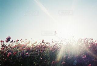 自然,空,花,秋,花畑,屋外,ピンク,太陽,コスモス,光,フレア,秋桜,日中