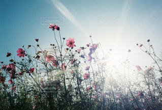 自然,風景,空,花,秋,花畑,屋外,ピンク,太陽,コスモス,鮮やか,光,たくさん,秋桜,カラー,草木,日中,郡勢