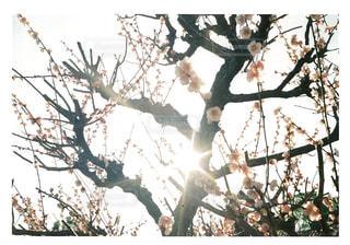空,花,春,木,屋外,太陽,梅,光,樹木,草木,日中,支店