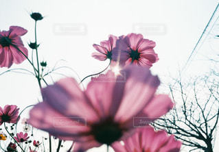 空,花,花畑,ピンク,太陽,コスモス,紫,鮮やか,光,秋桜,クリア,かなり,フローラ