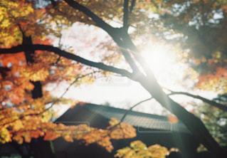 自然,風景,空,花,秋,太陽,枝,葉,光,樹木,カエデ