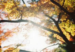 空,秋,紅葉,森林,屋外,太陽,赤,枝,黄色,葉,光,樹木,草木,ブナ