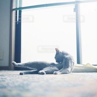 猫,動物,屋内,足,窓,景色,光,寝転ぶ,ペット,人物,座る,毛繕い,ロシアンブルー,ネコ
