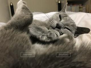 猫,動物,屋内,景色,ペット,寝る,子猫,人物,アップ,睡眠,おやすみ,見つめる,ロシアンブルー,キティ,ネコ,ネコ科の動物