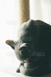猫,動物,屋内,ペット,人物,キャットタワー,見つめる,毛繕い,ロシアンブルー,ネコ,探す