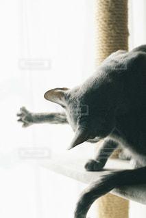 猫,動物,屋内,白,黒,ペット,人物,グレー,キャットタワー,ロシアンブルー,ネコ
