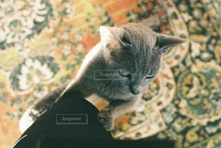 猫,動物,屋内,ペット,子猫,人物,グレー,アップ,ロシアンブルー,ネコ