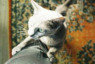 猫,動物,景色,ペット,人物,グリーン,瞳,ロシアンブルー,ネコ