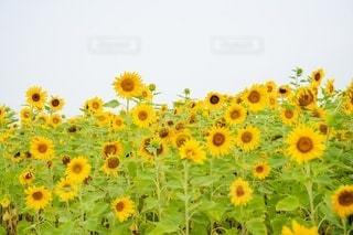 花のクローズアップの写真・画像素材[3534353]