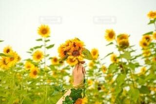 女性,花,ひまわり,花束,黄色,手,女,女子,女の子,向日葵,手持ち,人物,人,ポートレート,ひまわり畑,カラー,ライフスタイル,草木,手元,ヒマワリ,軍勢